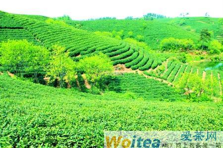 九拓·信阳红茶叶