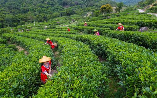 洲头生态茶茶业